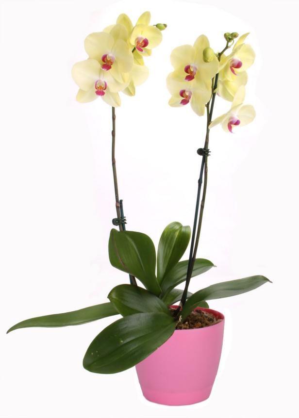 Zz Plant Types