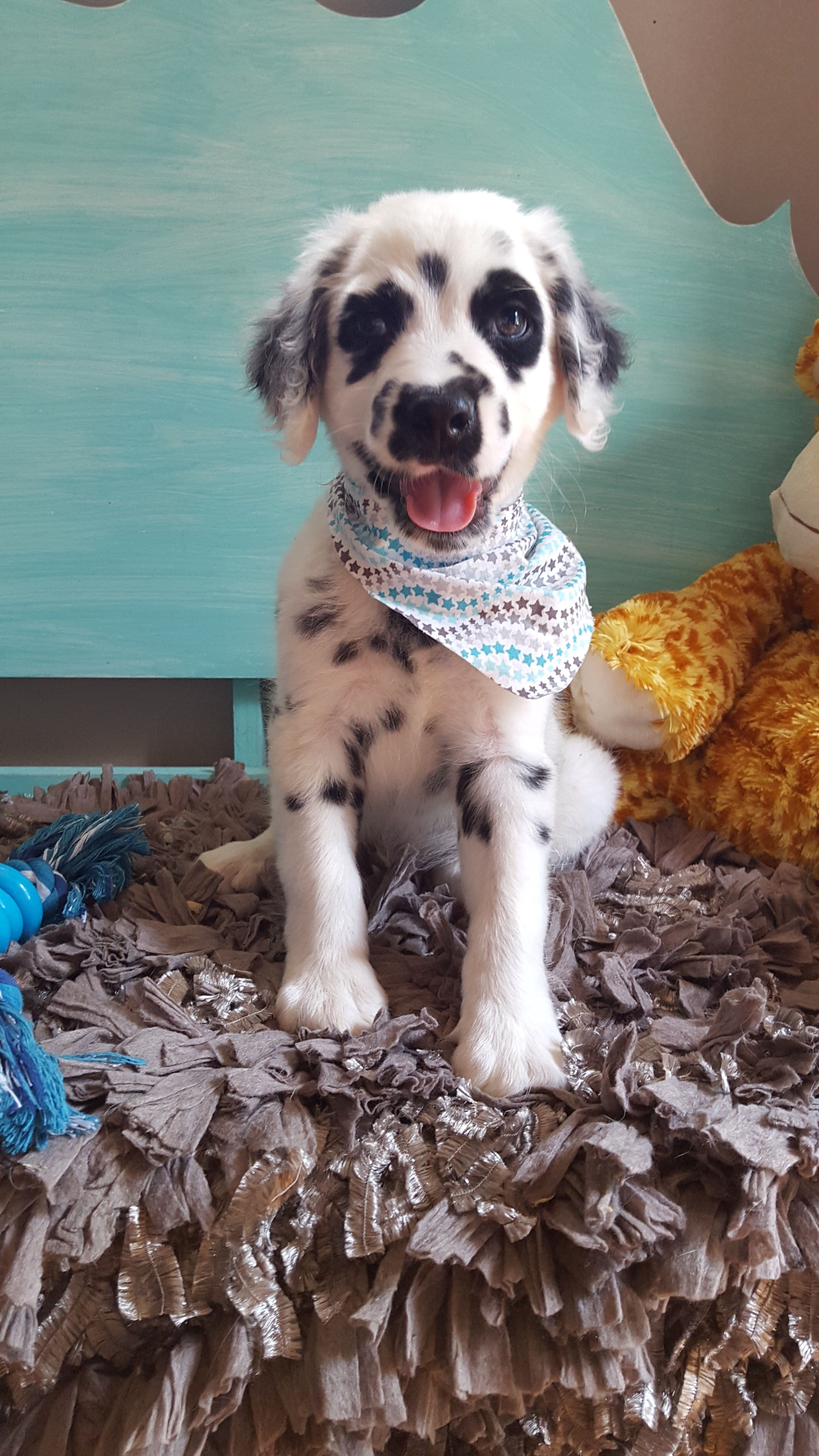Long Haired Dalmatian Puppy For Sale : haired, dalmatian, puppy, IT!!!!, There, Thing, Dalmatians!!!, Animals,, Animals, Beautiful
