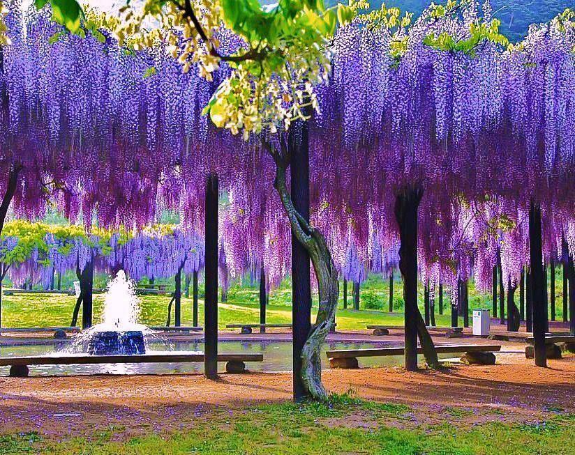 Wisteria Tree Kawachi Fuji Gardens Japan Wisteria Tree Beautiful Gardens Dream Garden