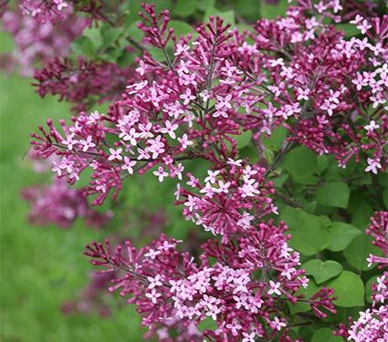 Bloomerang Purple Lilac Tree At Brighter Blooms Nursery Lilac Tree Garden Shrubs Backyard Landscaping