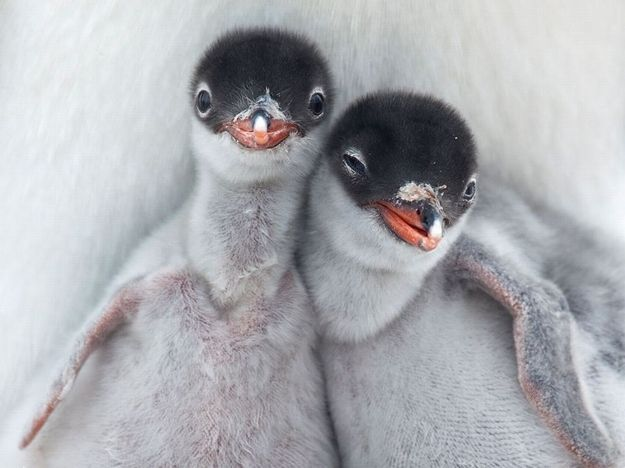 These penguin chicks. | Community Post: The 40 Best Animal Cuddlers Of All Time
