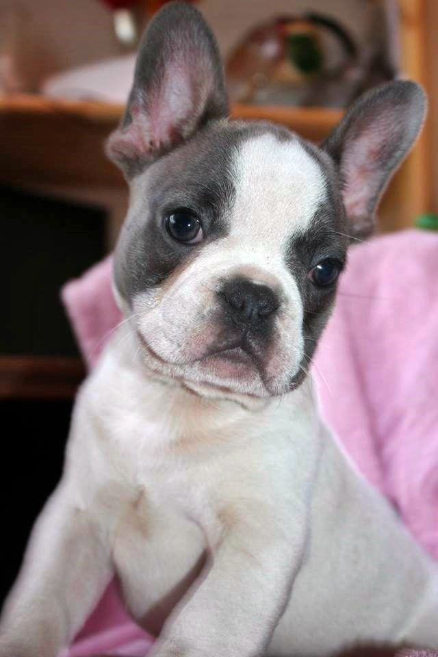 Stunning Blue Sable Pied Blue Tan Carrier French Bulldog