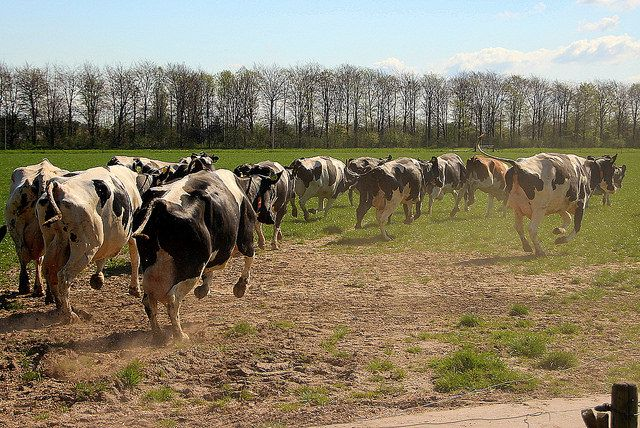 De koeien mogen voor het eerst naar buiten in Heesbeen. Foto: Lida Verkade 18-04-2015