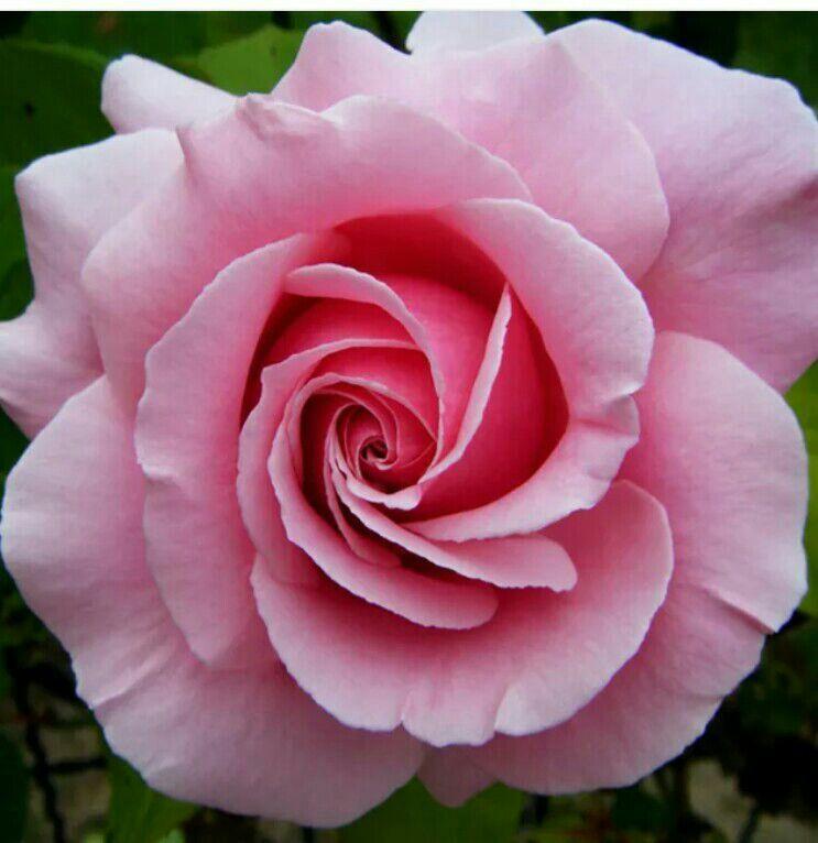 Gardens Pretty FlowersPink RosesSingle