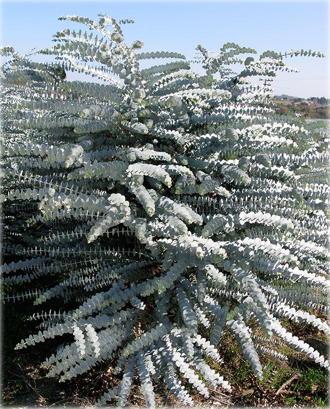 Ufei Selectree A Tree Selection Guide Trees To Plant Australian Plants Ornamental Trees
