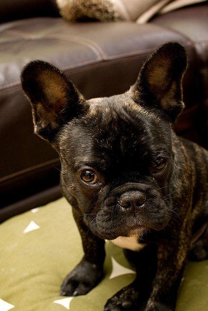 Rocco French Bulldog 2 Brindle French Bulldog French Bulldog