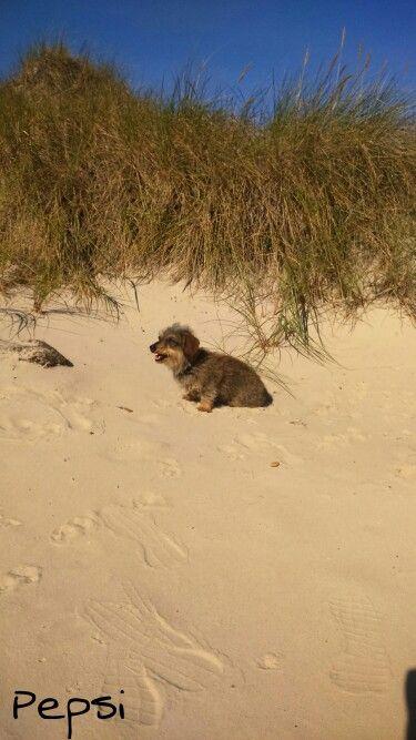 Henne Strand im September 2015 😍 Dackel hund, Dackel, Hunde