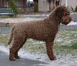 brown lagotto romagnolo Google Search DOGS Pinterest