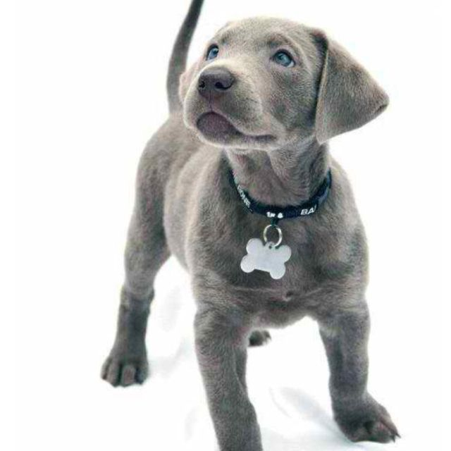 Silver lab! | The Cutest Animals Ever | Dogs, Cute dogs