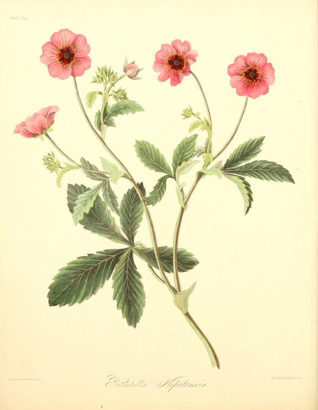 Floral Illustrations of the Seasons. Published in 1829 (in the public domain)