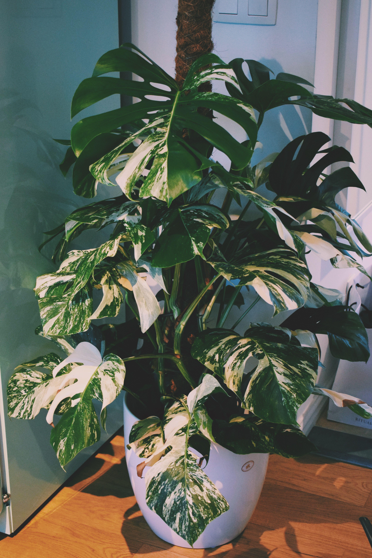 monstera deliciosa variegata my photography pinterest. Black Bedroom Furniture Sets. Home Design Ideas