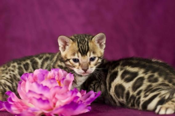 Pocket Leopards Bengals Specializes In Breeding Charcoal Brown