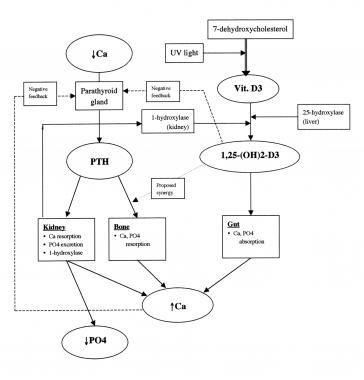 Schematic Diagram Of Calcium Homeostasis Crr Pinterest