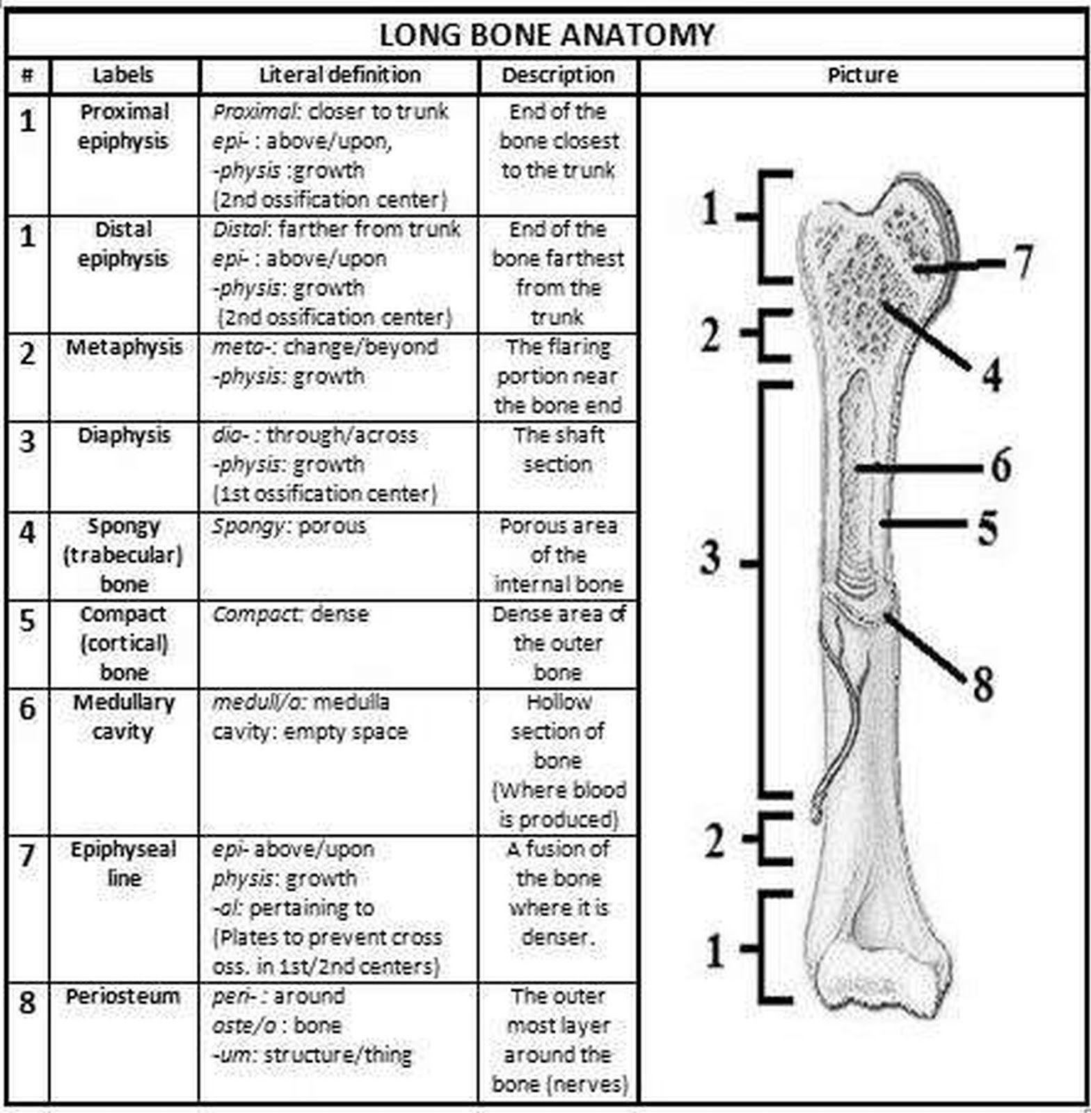 Pictures Bone Anatomy Worksheet Human Chart Beautiful ...
