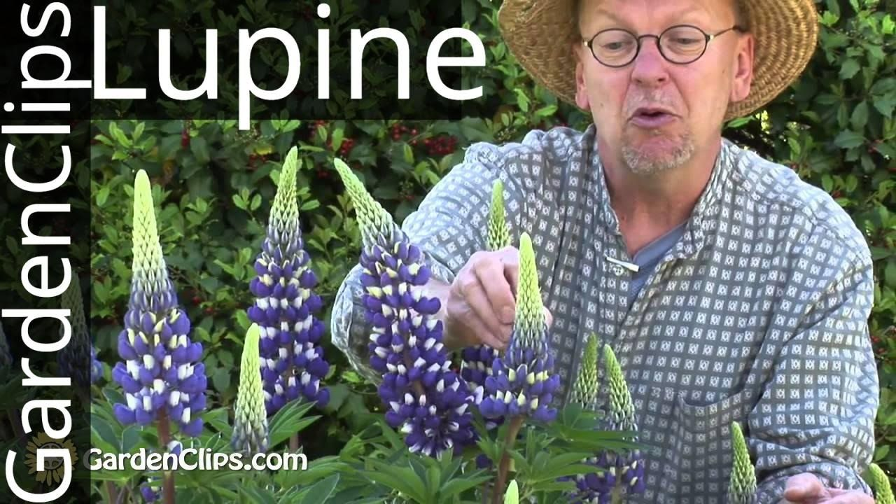Lupine Lupinus species How to grow Lupines Lupines