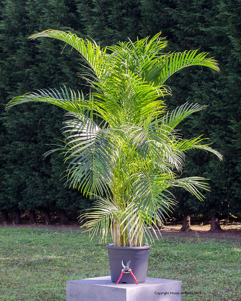 Chrysalidocarpus Space For Life Chrysalidocarpus Lutescens Areca Palm Plante De Interior