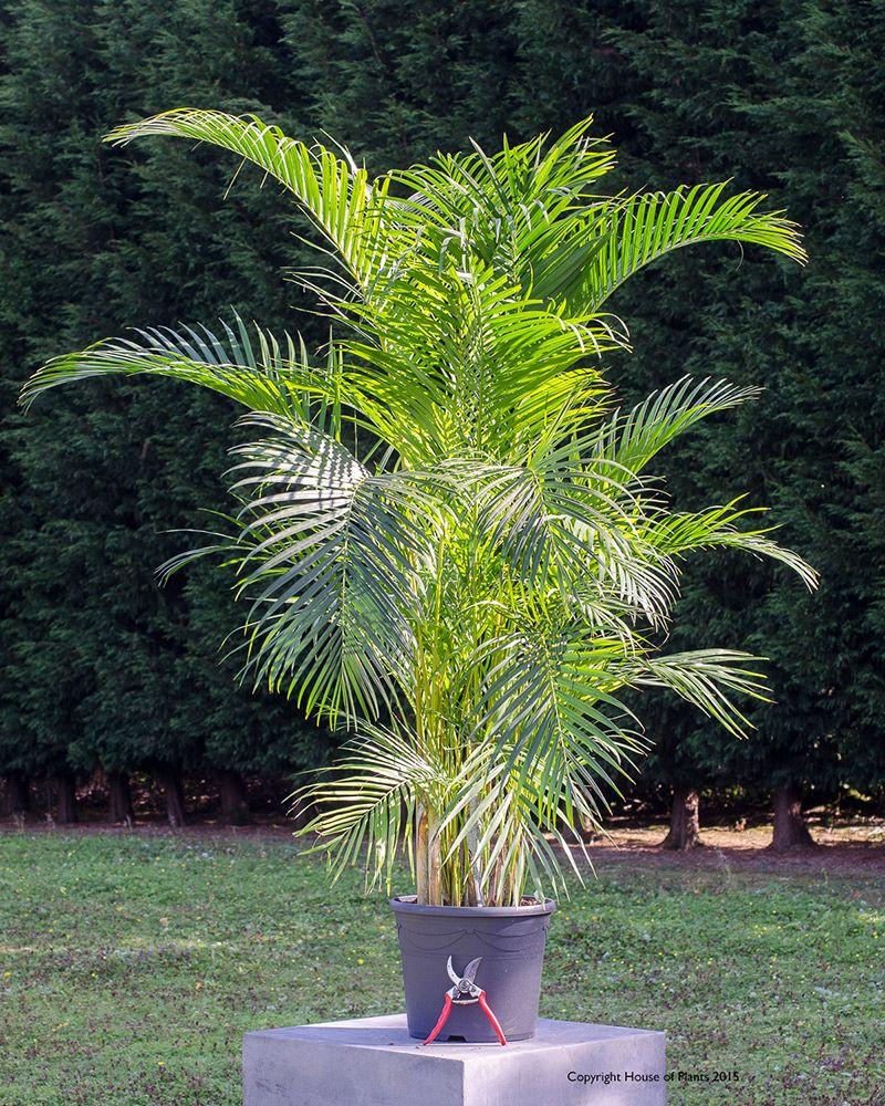 Chrysalidocarpus lutescens areca palm plante de interior for Areca palm safe for cats