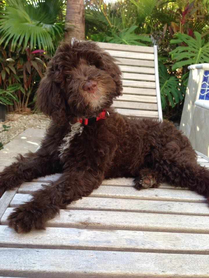Chocolate English Goldendoodle from Moss Creek