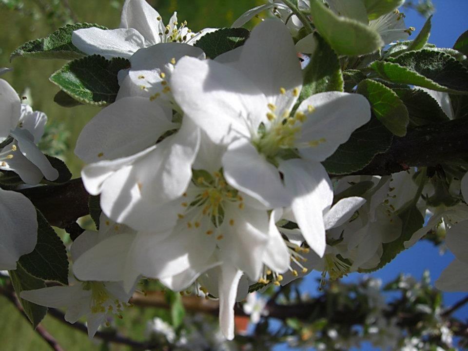 Apfelblüte im Mai 2012