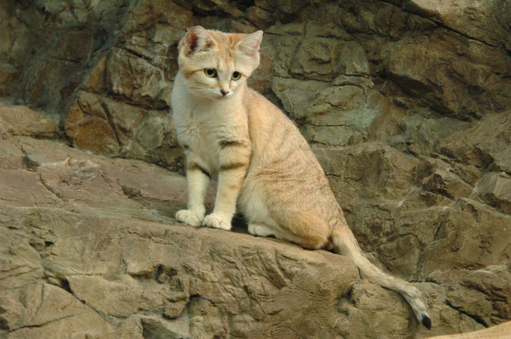 cat hd wallpaper Sand cat, Animals, Cats