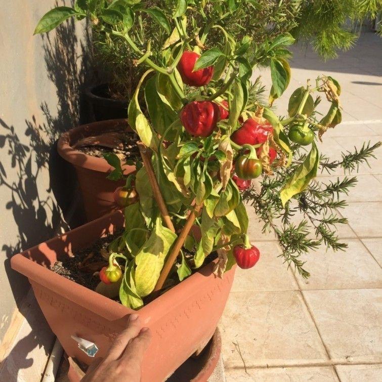 Plantar tomates y pimientos en macetas casa dise o for Plantar pimientos y tomates