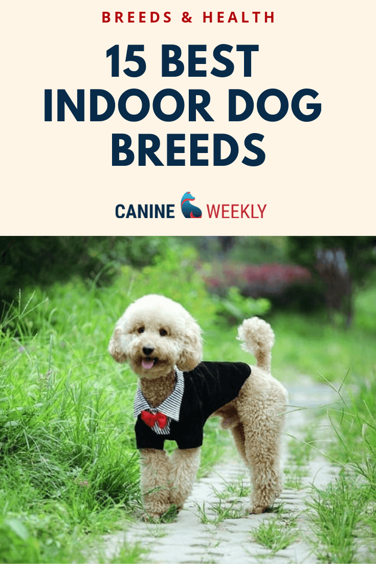 15 Best Indoor Dogs For Homebodies Canine Weekly Indoor Dog Low Maintenance Dog Breeds Dogs And Kids