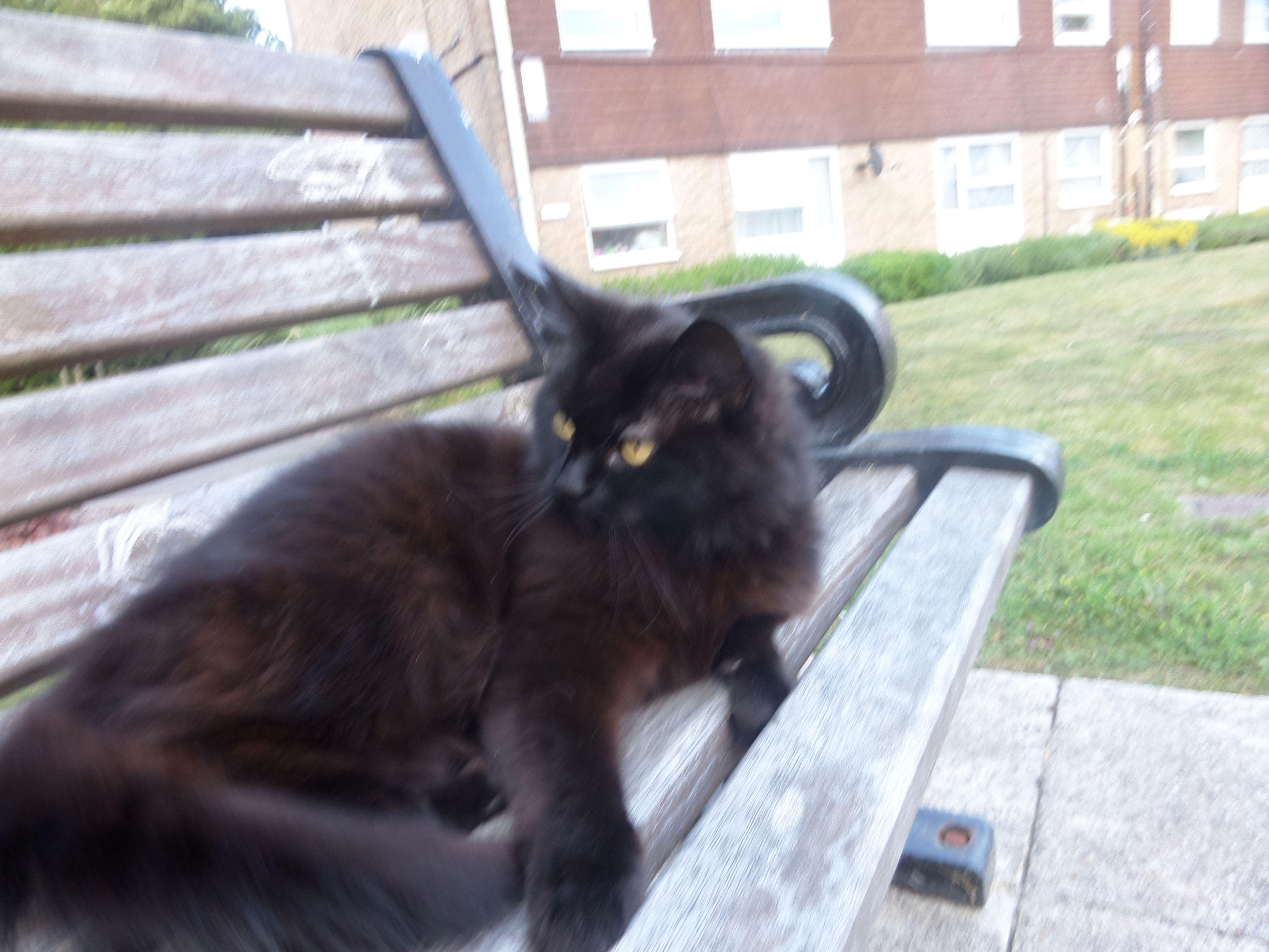 Brambles Cat | Pawshake Haywards heath