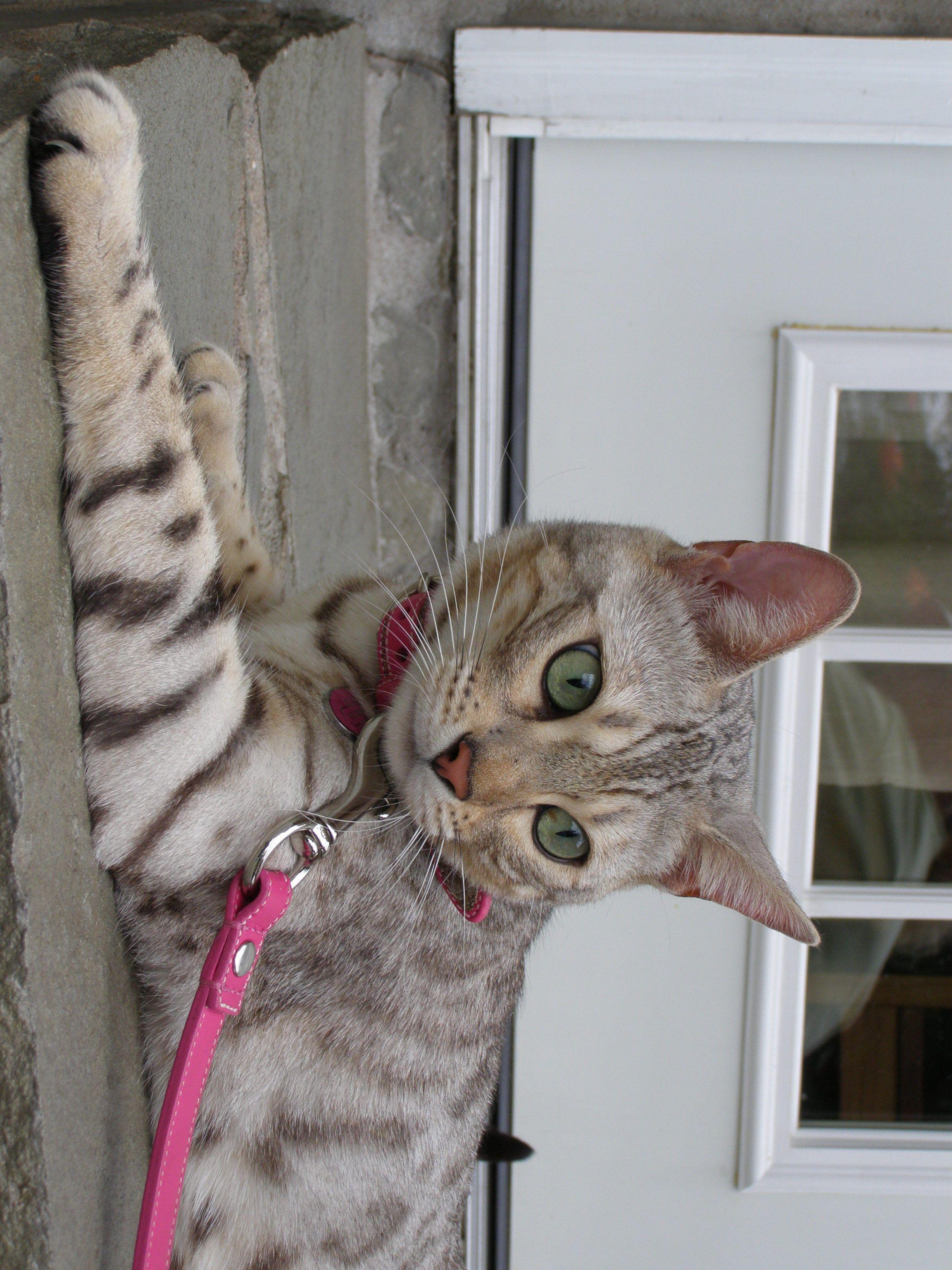Idea by tonya elsea on Meow Bengal kitten, Bengal cat