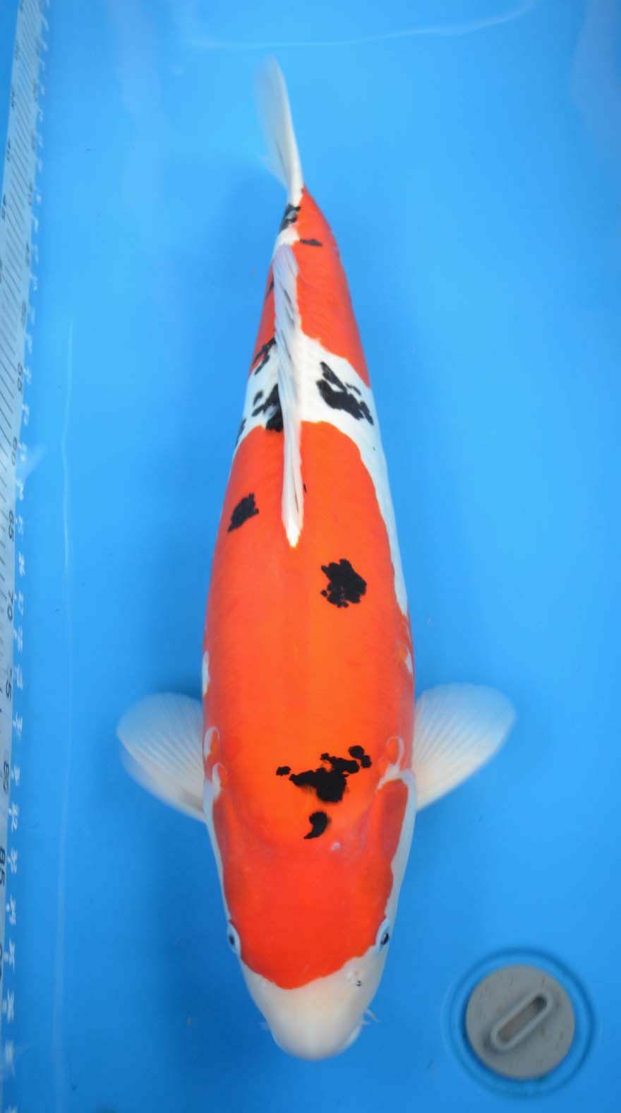 Pin On Goldfish