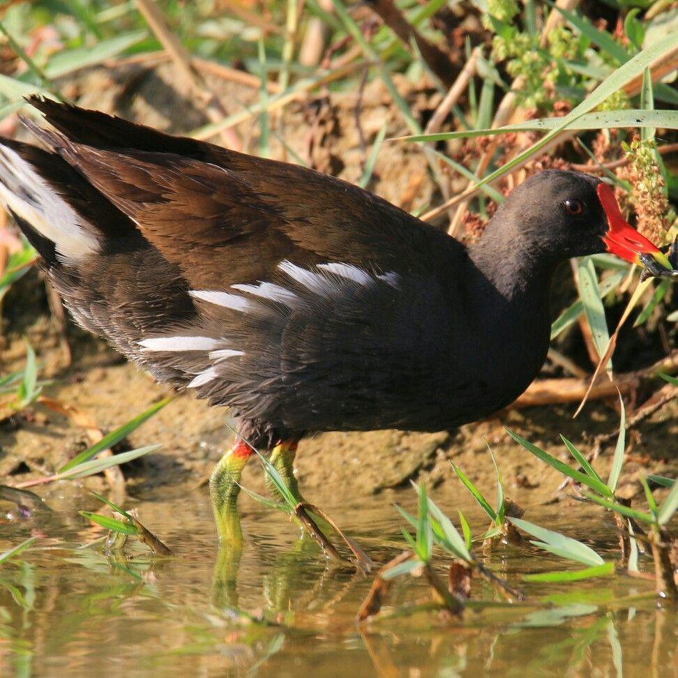 دجاجة الماء الرياض وادي حنيفة Animals Birds Bird