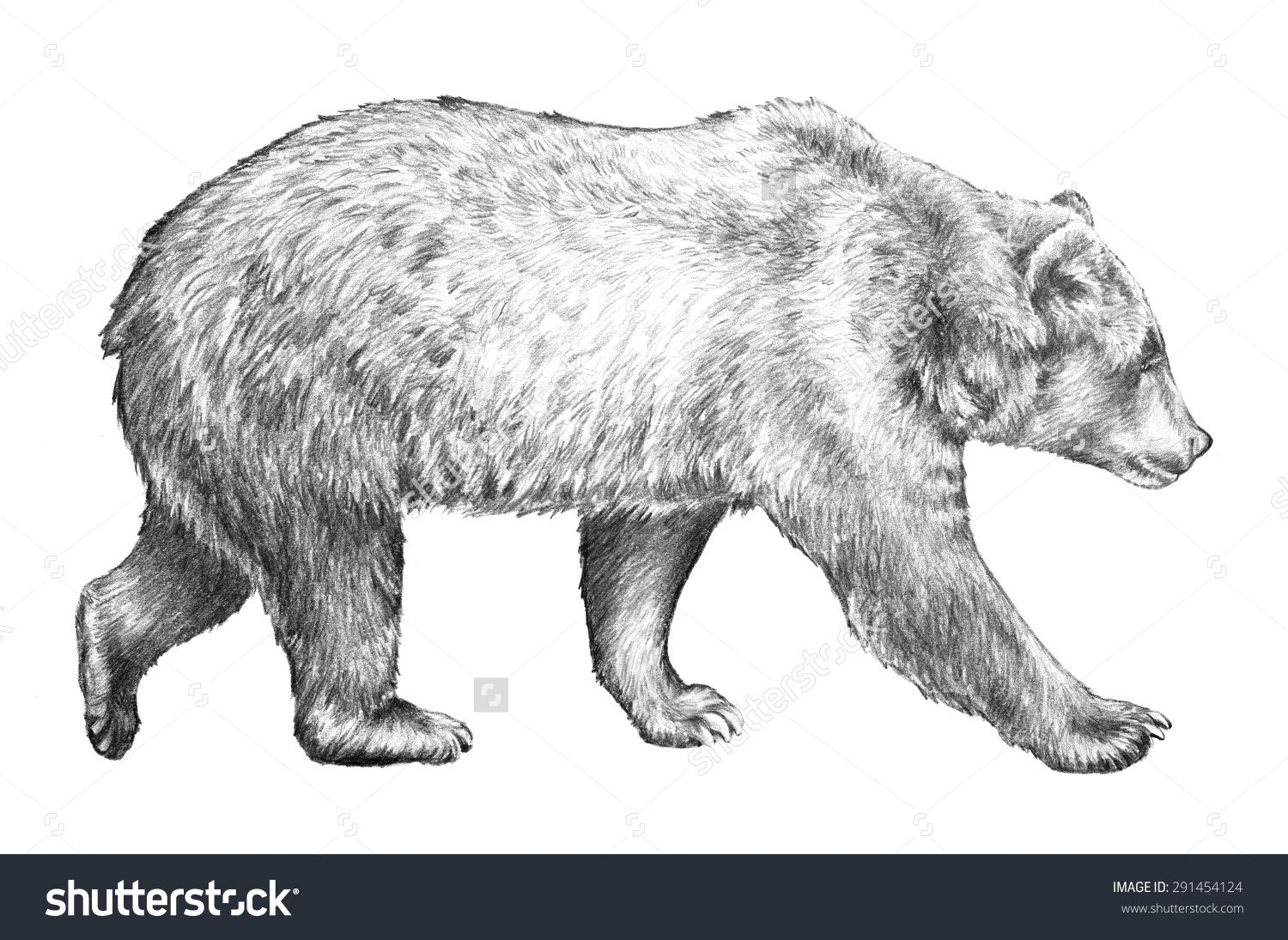 Grizzly Bear Hand Drawn Sketch Of Bear Walking Dangerous