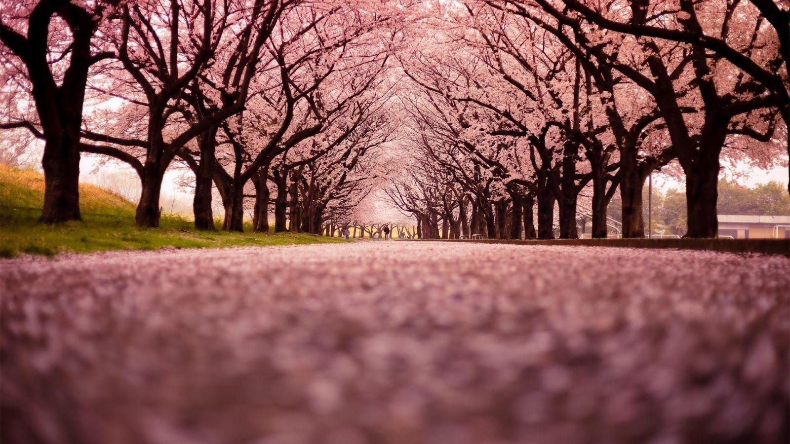 Wallpaper Sakura Jepang