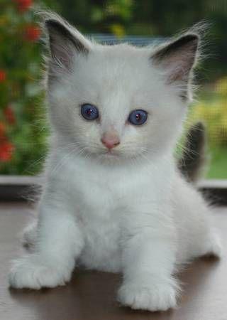 Adoption Fee Applies Ragdollkittensdivine Com Feline Kitty Ragdoll Cat