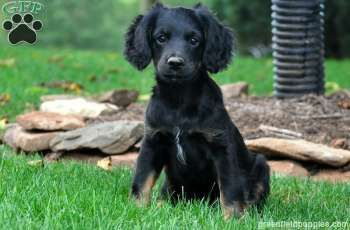 Cocker Spaniel Mix Puppies For A Great Price With Images Cocker Spaniel Mix Puppies German Shepherd Chihuahua Mix