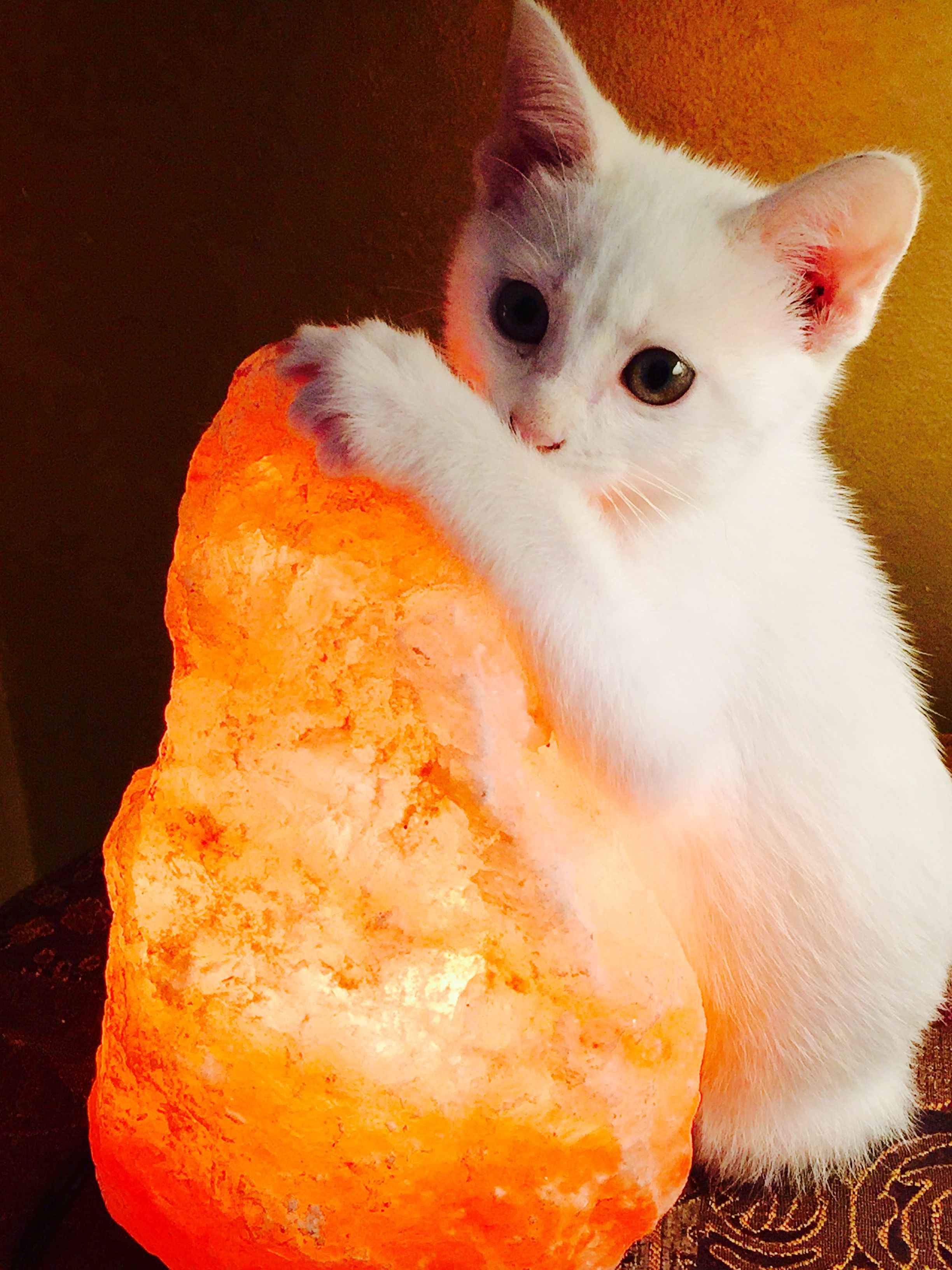 Salt Lamps And Cats Inspiration Sadie Loves The Warmth Of The Himalayan Salt Lamp Sadie Decorating Inspiration