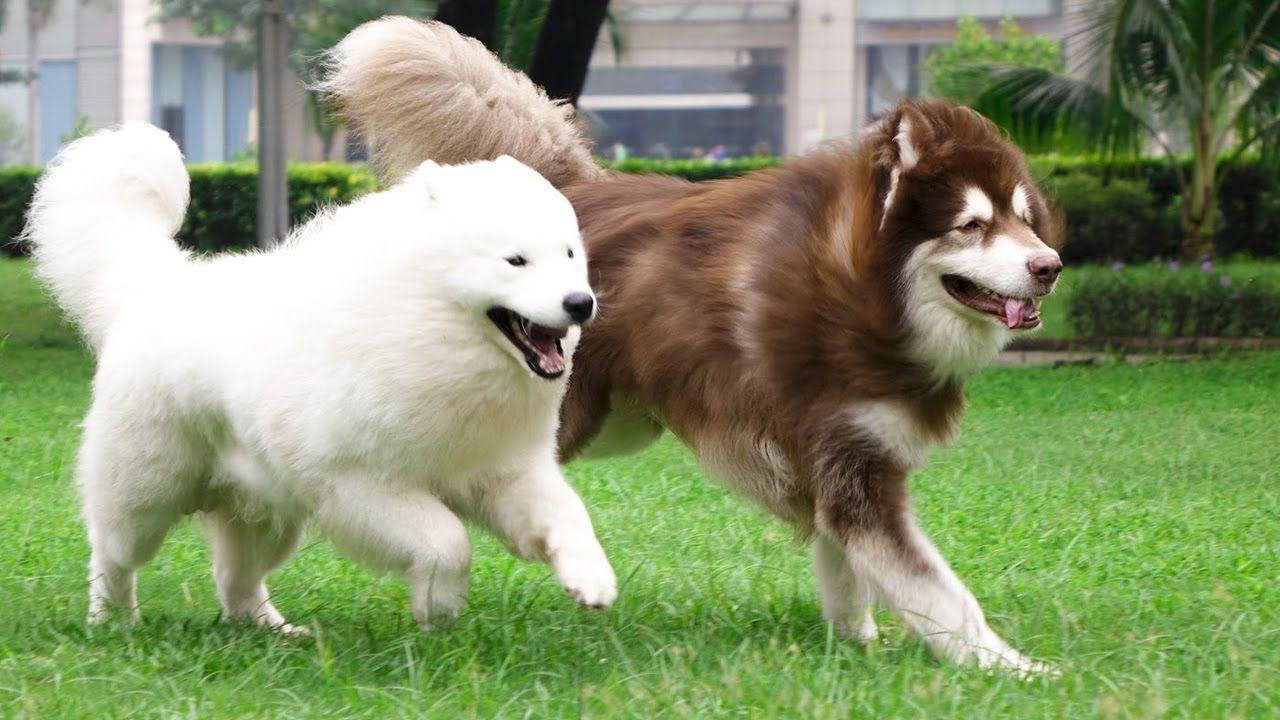 Giant Alaskan Malamute And Samoyed Cute Compilation Cutest Dogs