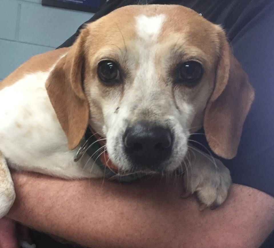Adoptable Beagle Beagle Dog For Adoption In Clarkesville Ga Adn