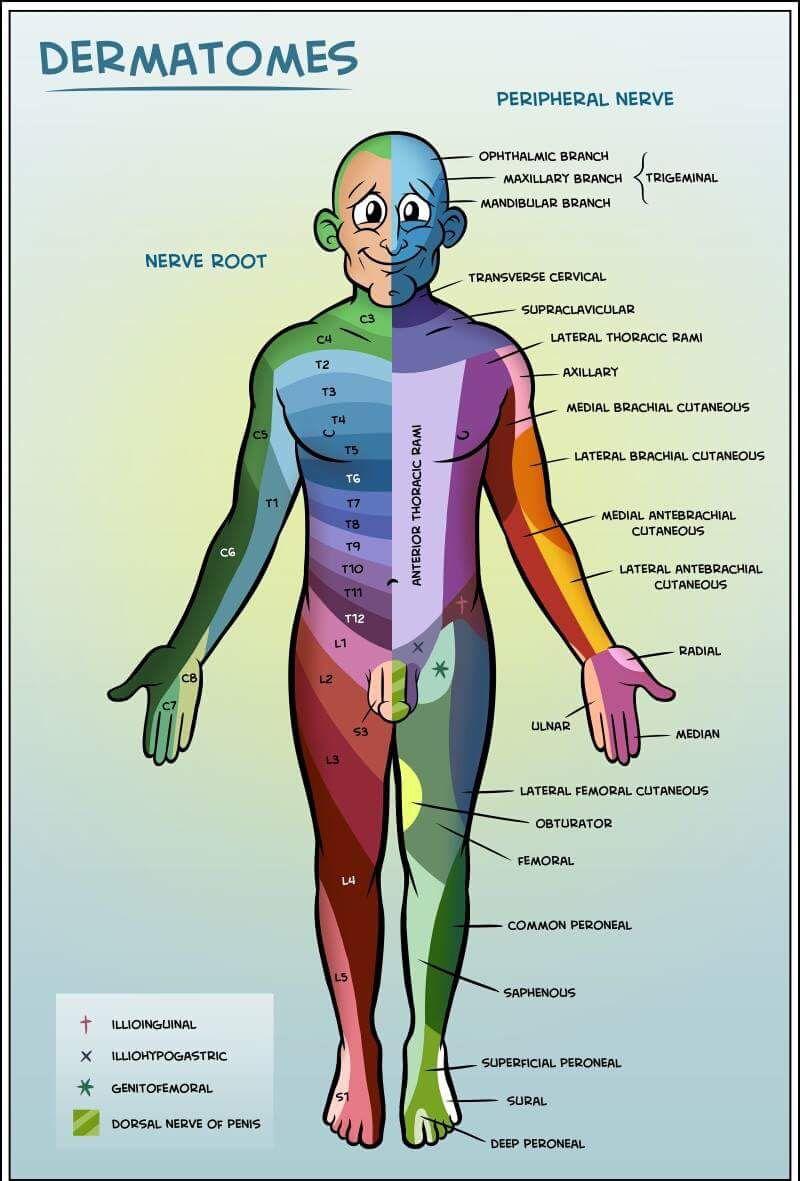 Dermatomas | Medicina | Pinterest | Medicina, Fisioterapia y Bondad
