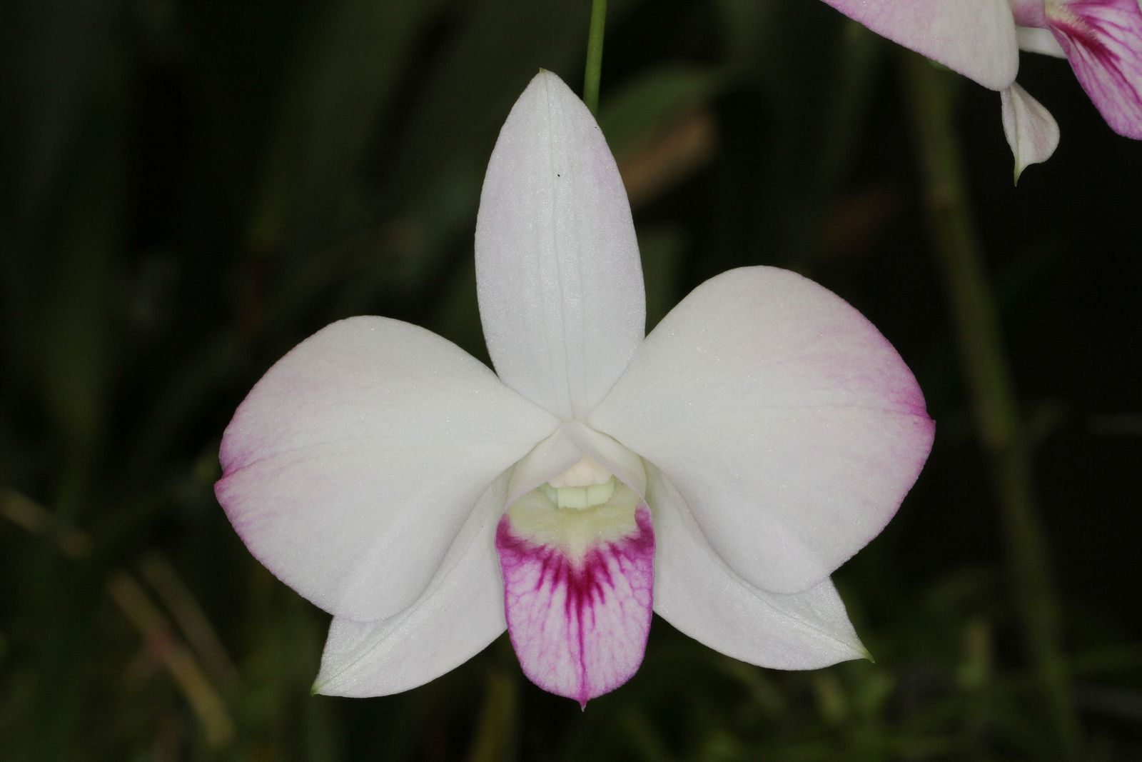 Dendrobium phalaenopsis g orchid and flowers