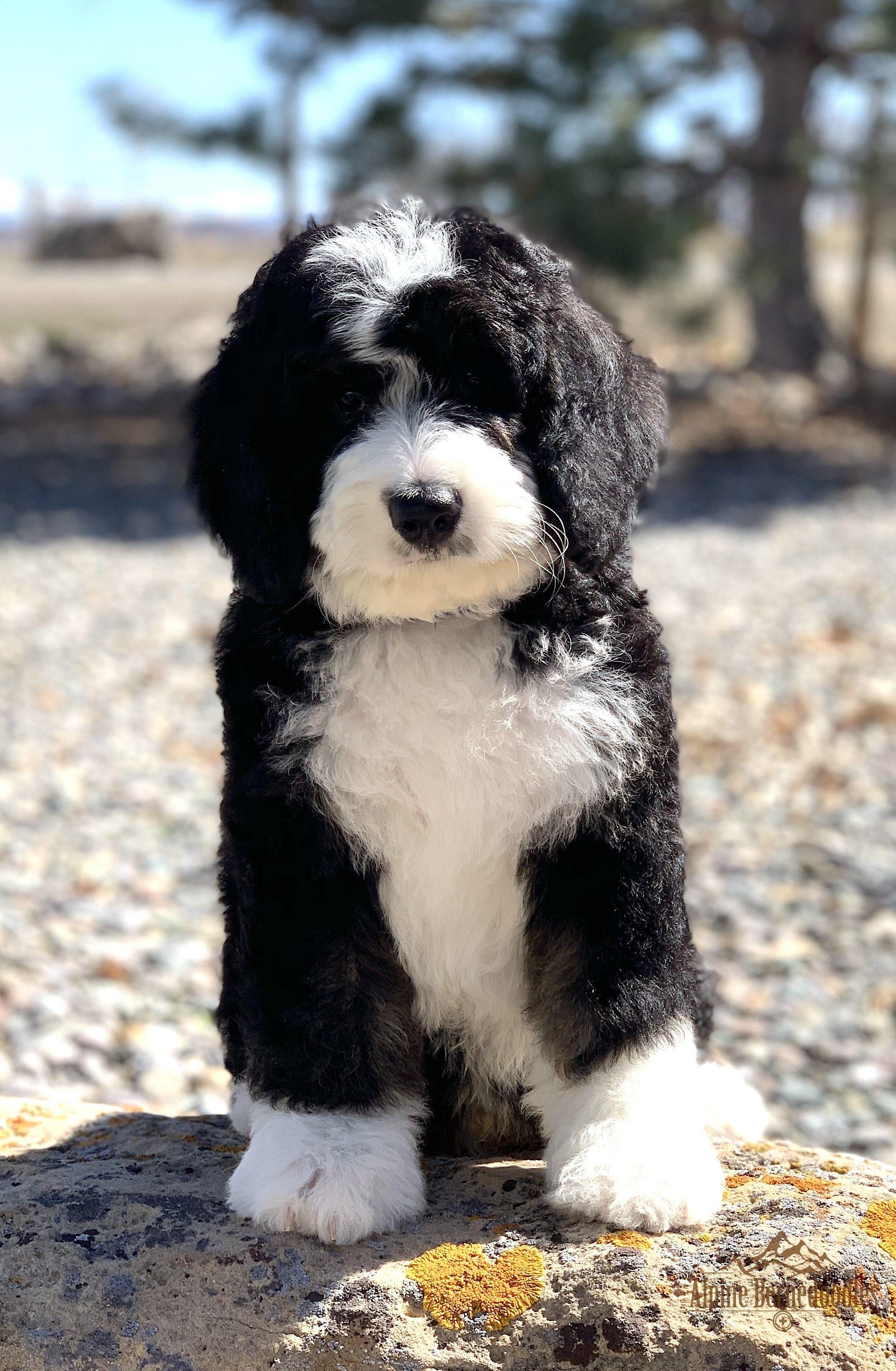 Alpine Bernedoodles Quality Bernedoodle Breeder Bernedoodle Puppy Sheep Dog Puppy Bernedoodle
