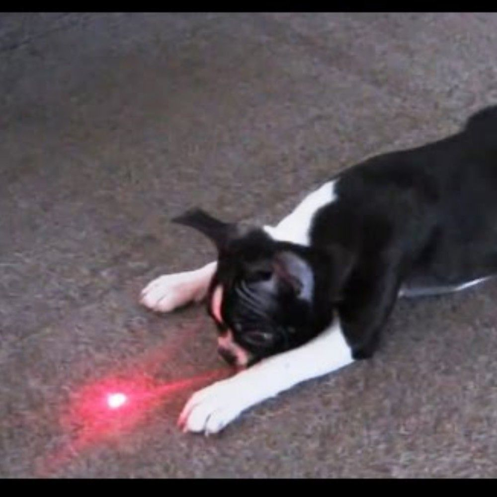 Chasing A Laser Pointer Can Be A Fun Activity For Dogs But Maybe A Bad Obsession For Some This Obsession Causes Them To Hyper Fo In 2020 Dogs Fun Activities Fun Facts