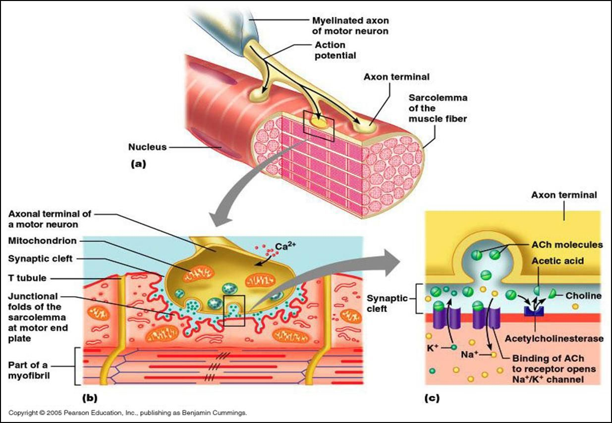 Associate Degree Nursing Physiology Review Physiology Neuromuscular Junction Basic Anatomy And Physiology