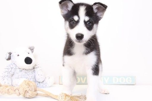 Siberian Husky Puppy For Sale In Naples Fl Adn 30068 On