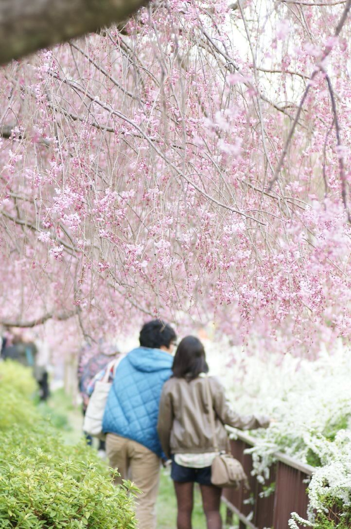 Couple Under Sakura Tree Sakura Tree Japan Sakura Japan Travel