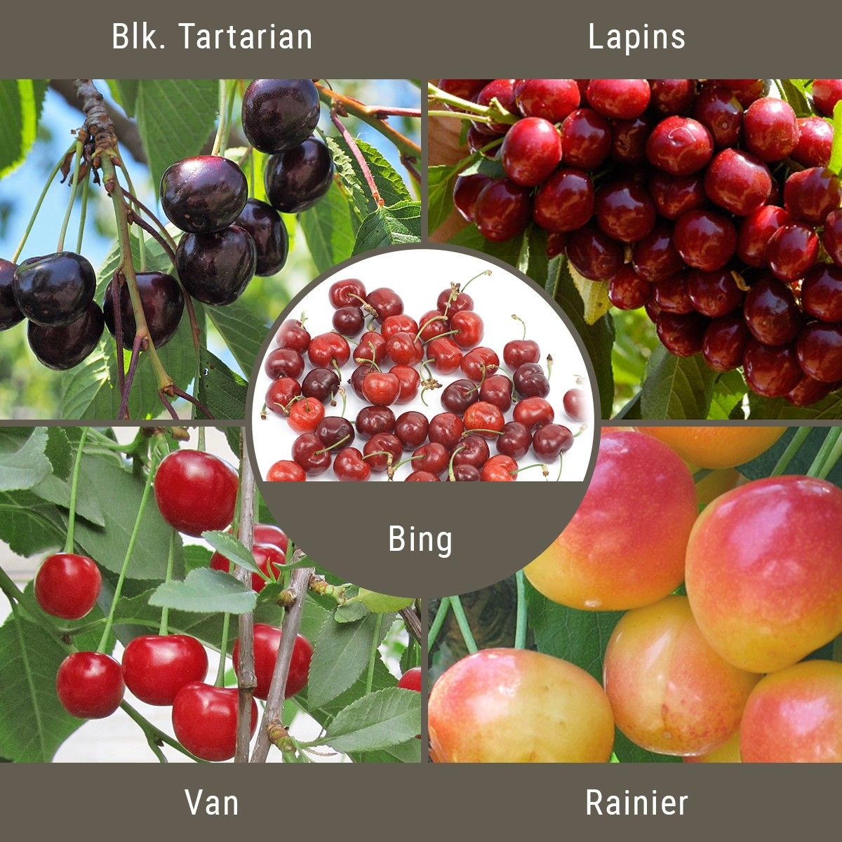Sweet Cherry 3 On 1 Multiple Grafted Fruit Tree Semi Dwarf Fruit Trees Buy Fruit Trees Fruit