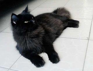Kucing Persia Hitam Putih