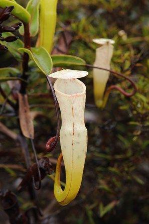 Pin On Ninja Nepenthes