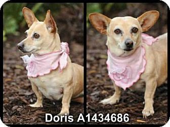 Los Angeles Ca Dachshund Cardigan Welsh Corgi Mix Meet Doris A Dog For Adoption Http Www A Cardigan Welsh Corgi Puppies Kitten Adoption Welsh Corgi Mix