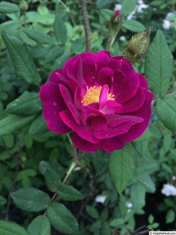 Fara Shimbo Rose Photo Rose Photos Rose Flowers