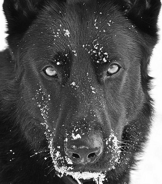 #Black #German #Shepherd